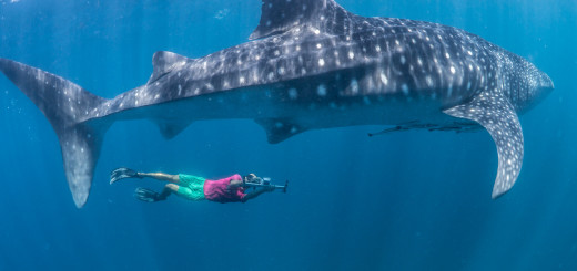Christoph Roher taking a laser photogrammetry photo of a male whale shark's claspers, to determine size at maturity
