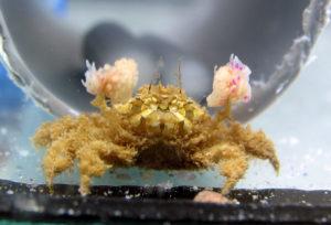 Lybia boxer crab