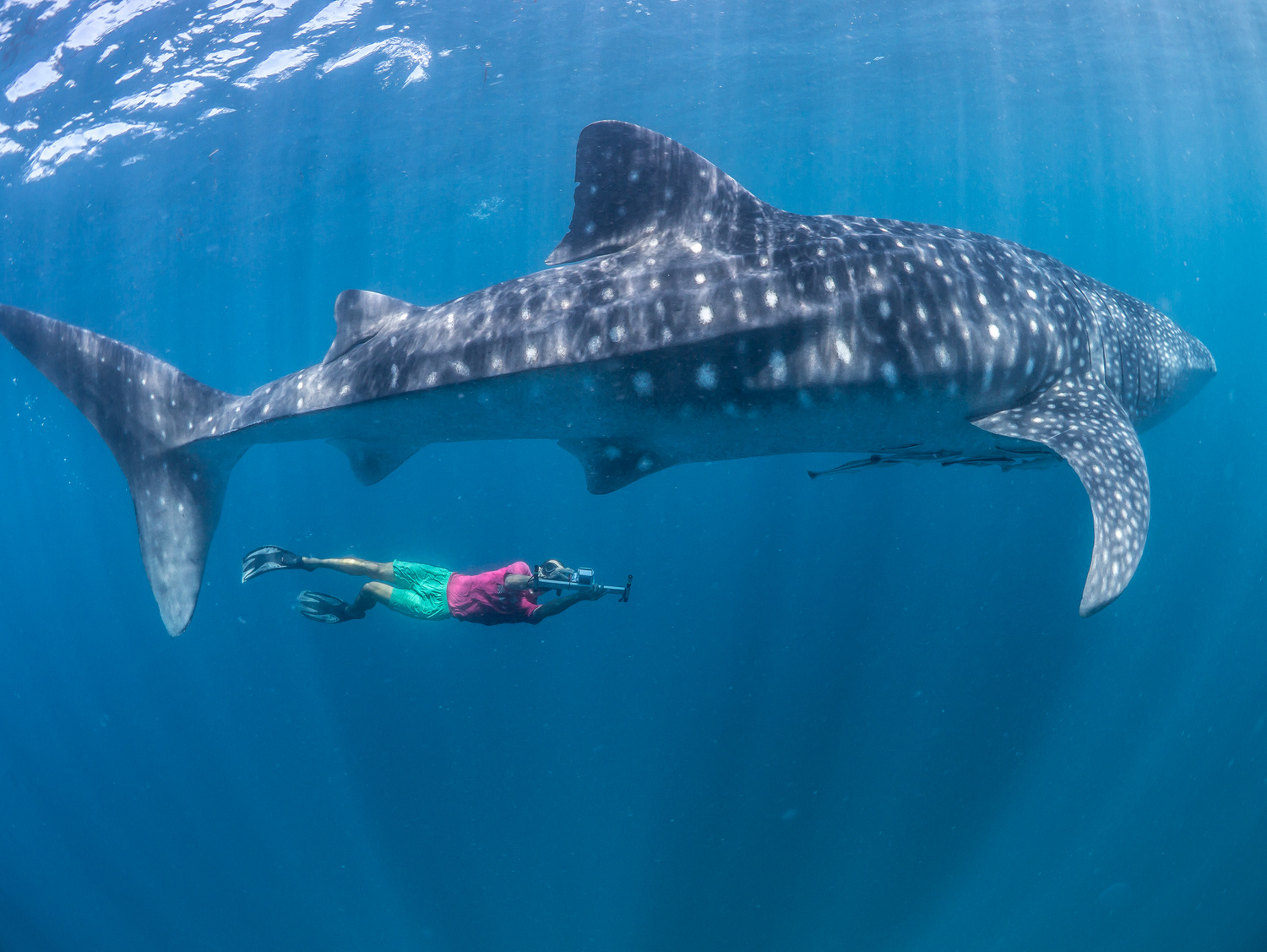 photogrammetry of whale sharks author interview peerj blog