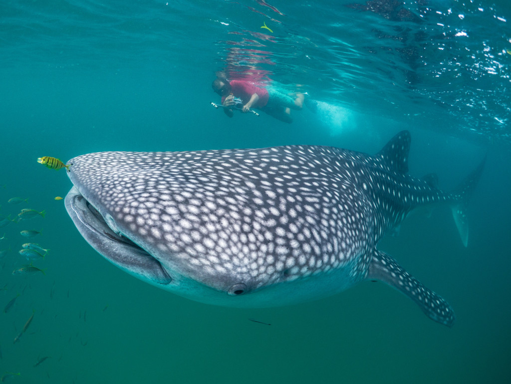 Chrisoph Rohner measuring a whale shark in Tanzania with laser photogrammetry