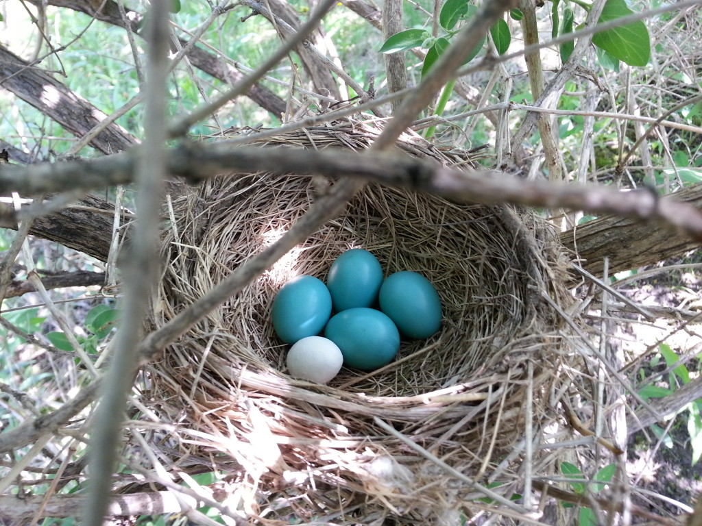 3D printed cowbird egg in the nest of an American robin  image credit: Ana Lopez