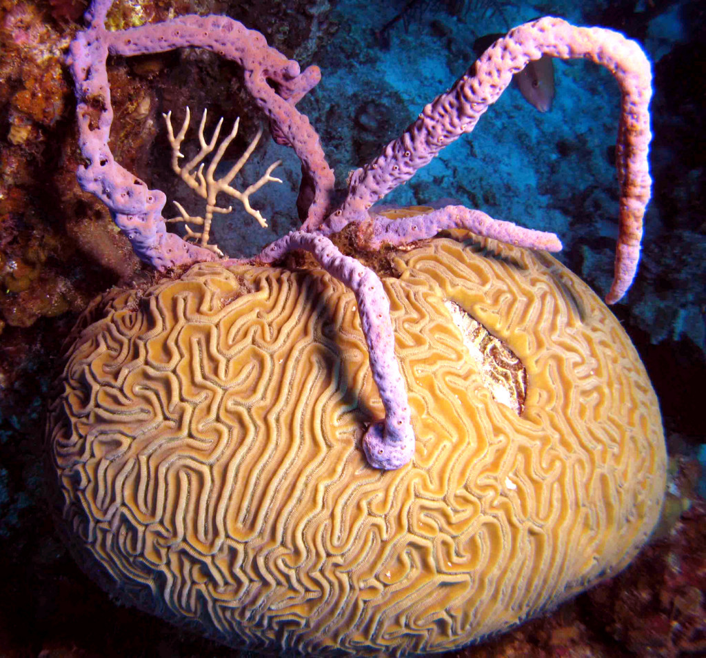 Brain coral (Diploria labyrinthiformis) overgrown and smothered by the lavender branching sponge Aplysina cauliformis. Photo credit: Joseph Pawlik, UNCW. CC BY 4.0.