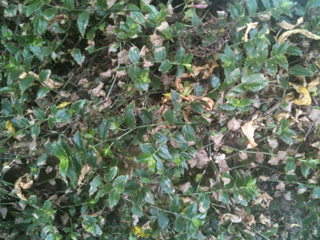 Biocontrol of trad by a leaf-eating beetle. Photo credit: Landcare Research