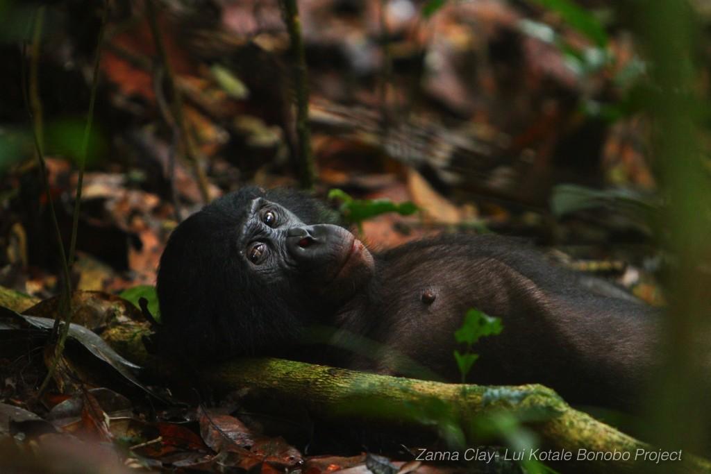 Zanna Clay_bonobo photo 2