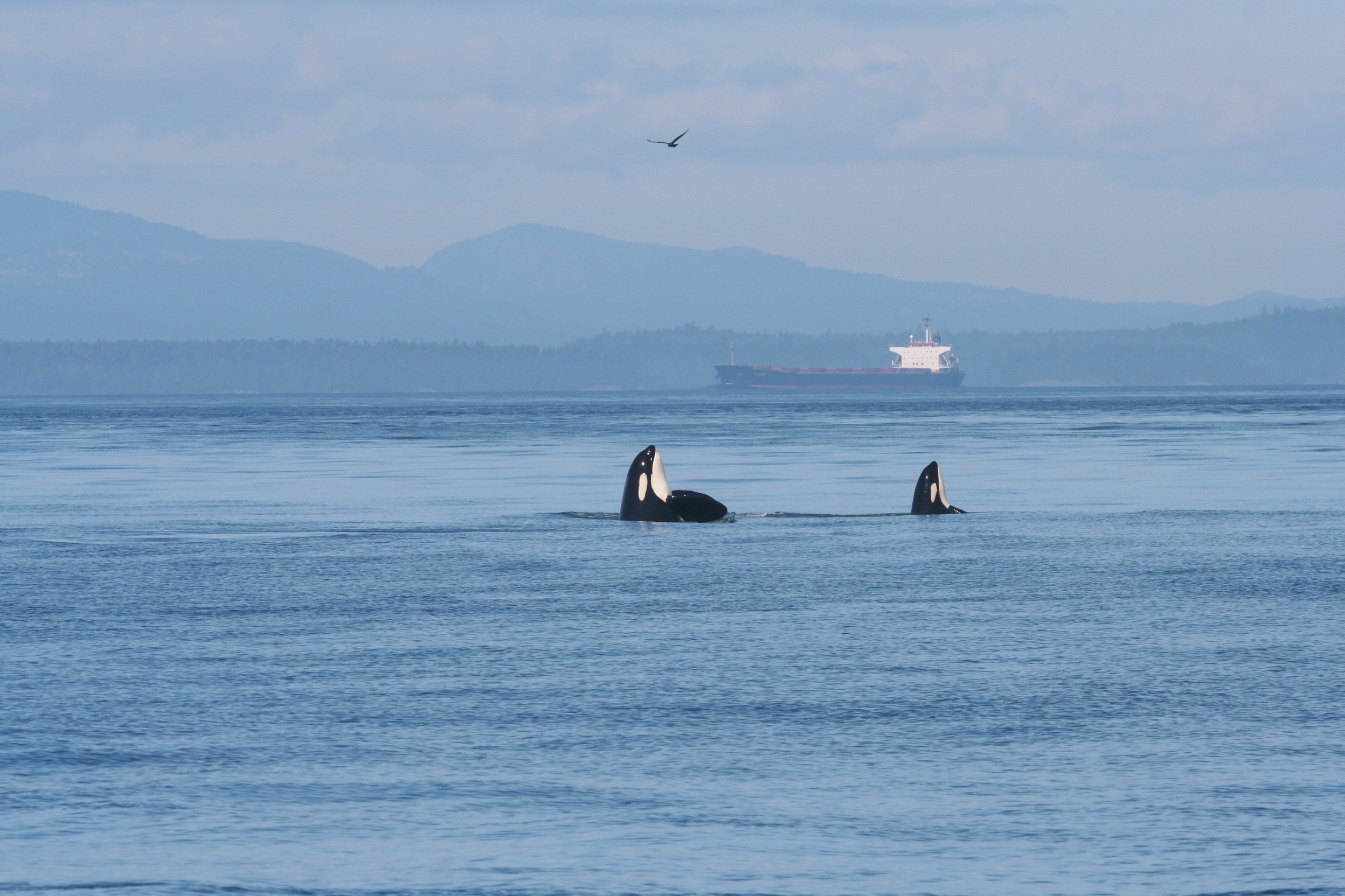 ship noise frequencies heard by killer whales u2013 author interview