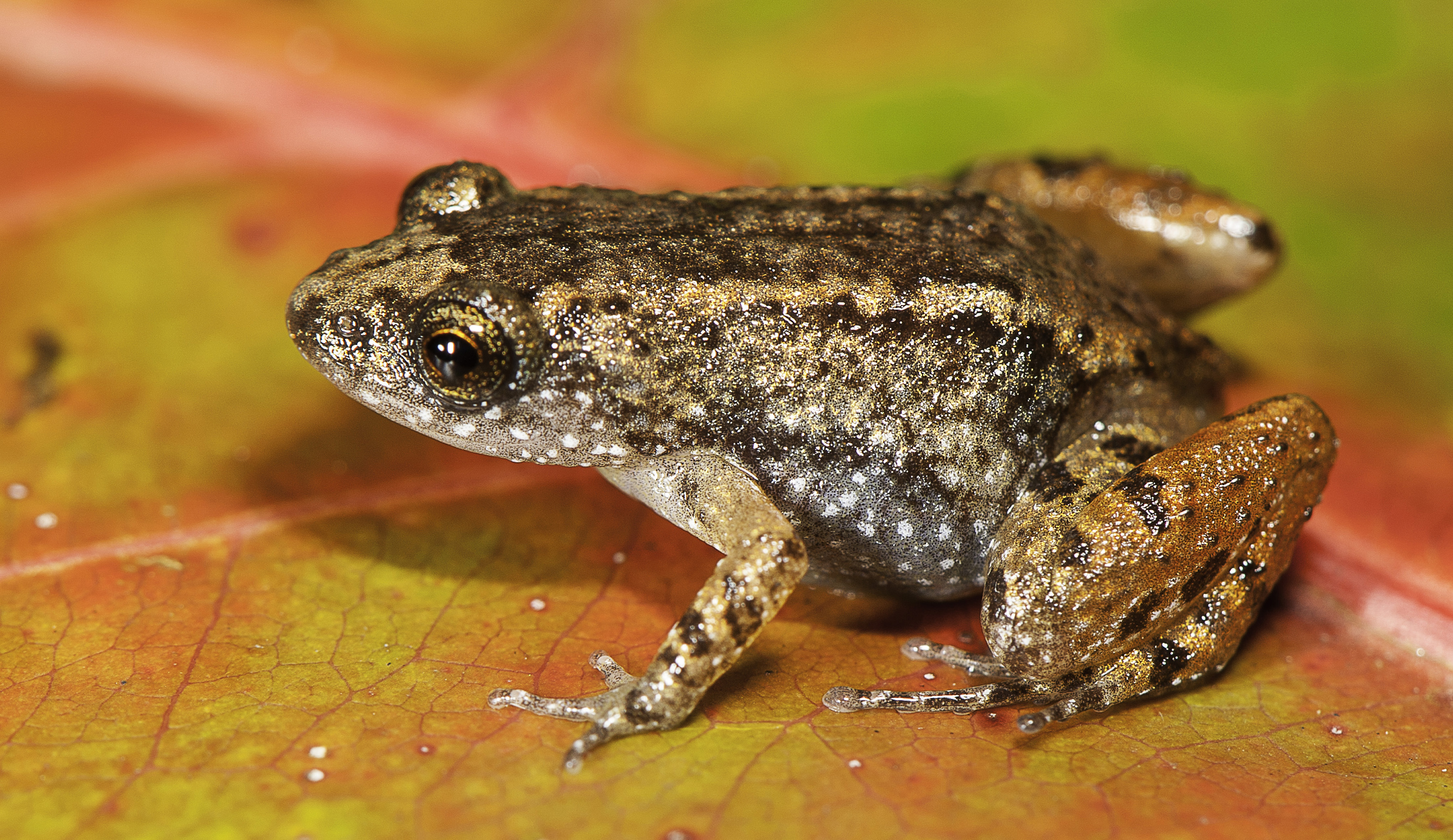 seven new species of night frogs u2013 author interview with sonali